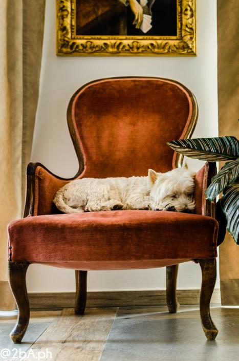 cane bianco su poltrona pet portrait